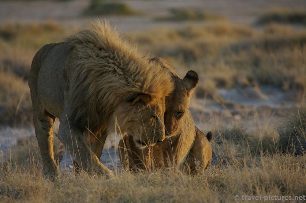 Lion Tenderness