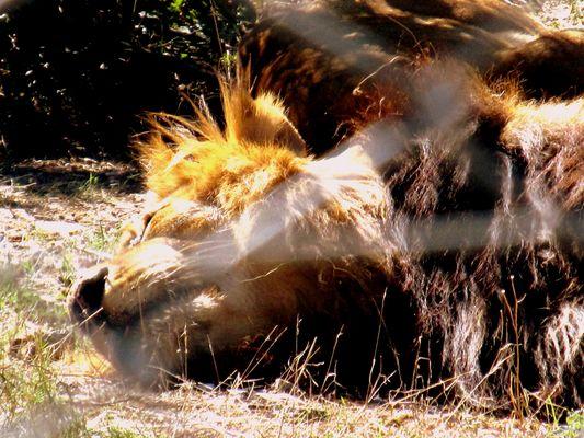 lion zoo lunaret
