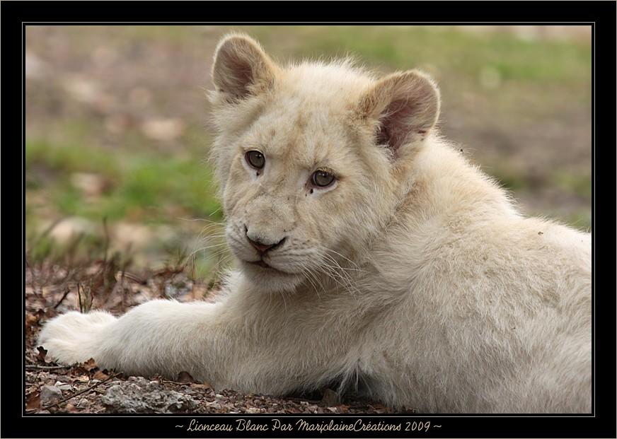 ~ Lionceau Blanc né au mois d'octobre 2008 ~
