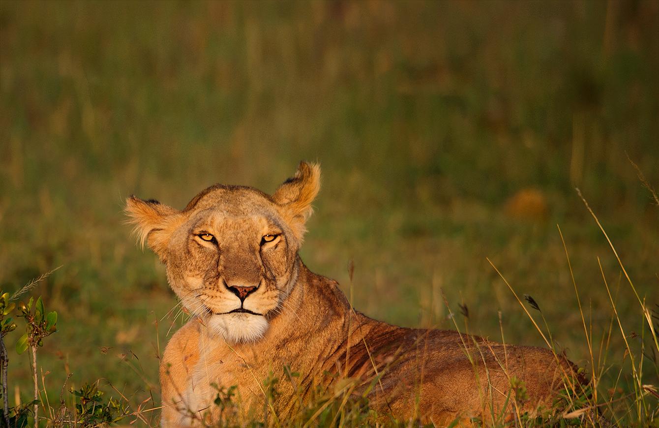 ..Lioness..