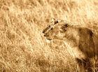 Lionnes (Lioness) - Masai Mara / Kenya - Sepia - Double regard ! (Recadré suite conseil Michel 54)