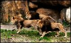 Lionrun!