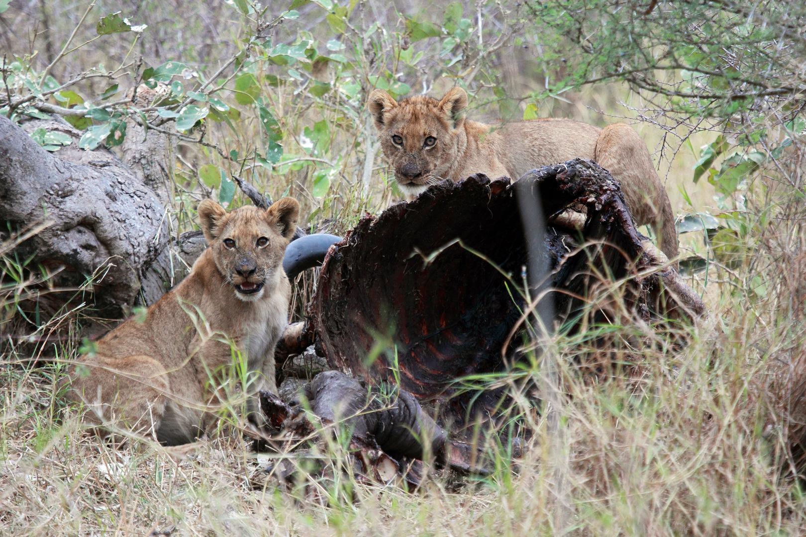 Lions at Buffallo kill