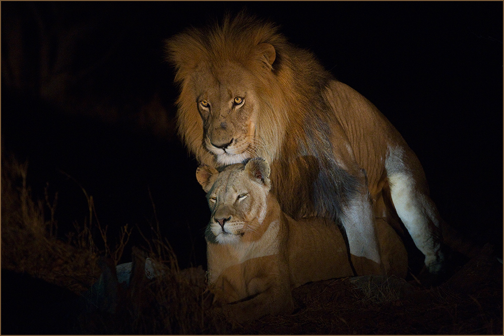 Lions at night ...