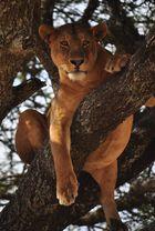 lions don't climb tree