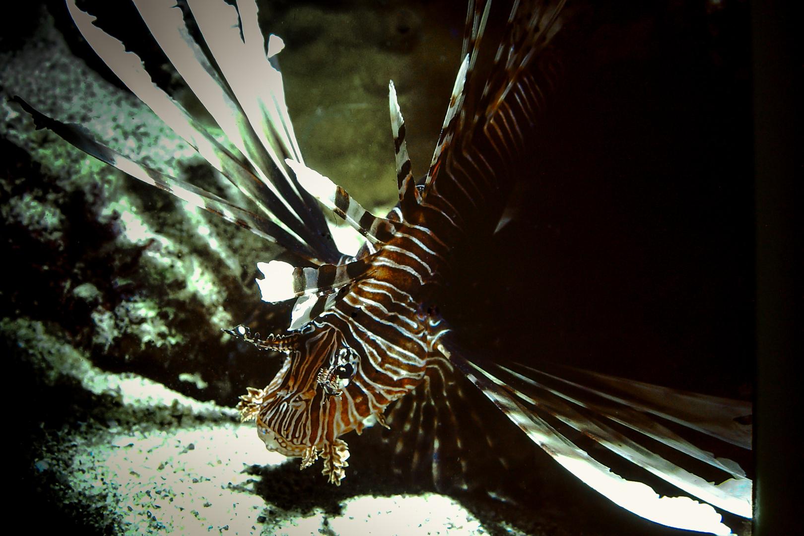 Lions Fish-Dahab