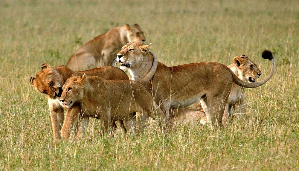 Lions - Masai Mara / Kenya - Jeux de lions (4)