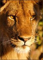 Lionwalk (2)