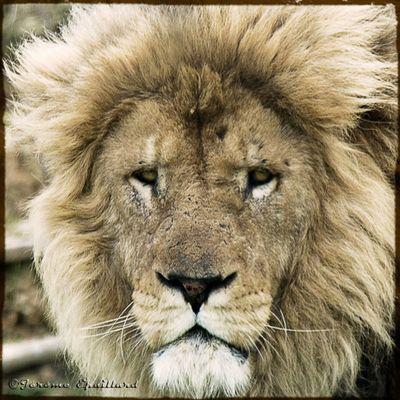 LionZion 2