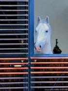 Lipizan à La Fenêtre (30.12.2008)