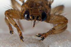 Lipoptena cervi (Hypoboscidae)