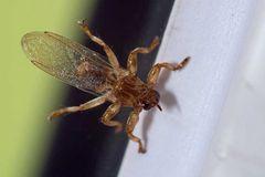 Lipoptena cervi (Hypoboscidae)_0