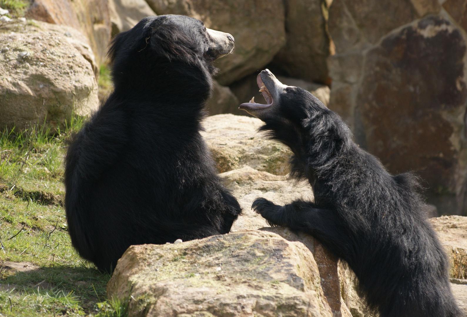 Lippenbären unter sich