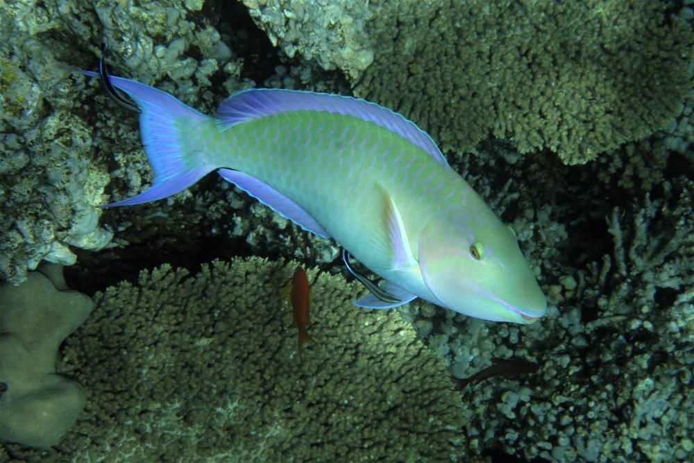 Lippfisch 3