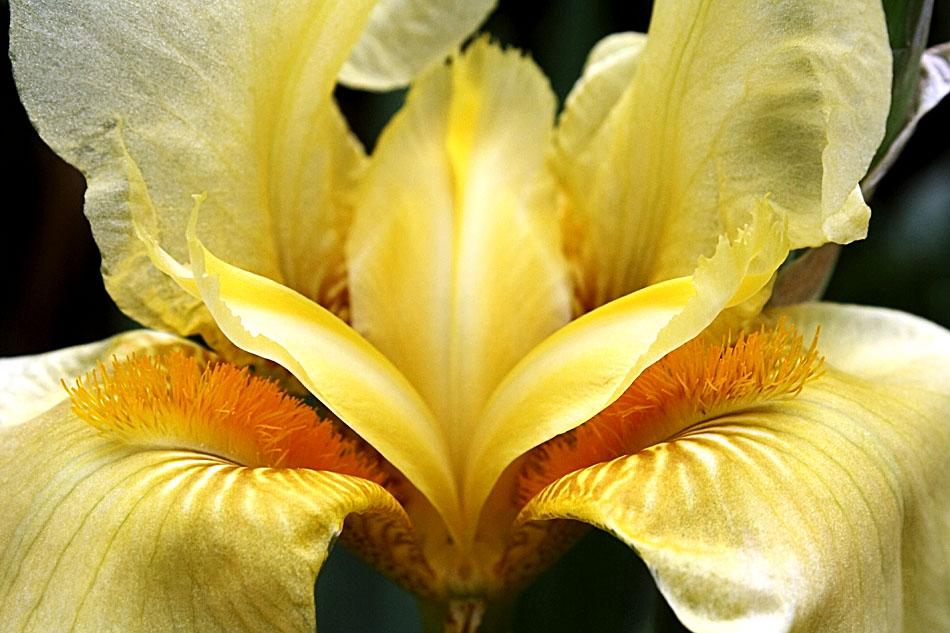 Lirio amarillo