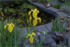 Lirios amarillos  al Estanque