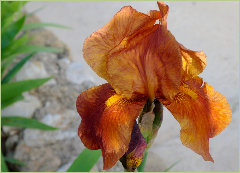 L'iris aux couleurs de lever de soleil........