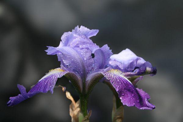 L'iris Bleue