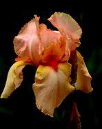 l'Iris Rosée