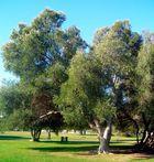 Lisboa: Riesiger Olivenbaum
