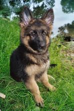 Lissy vom Klopferle            Deutscher Schäferhund   /    German Shepherd Dog