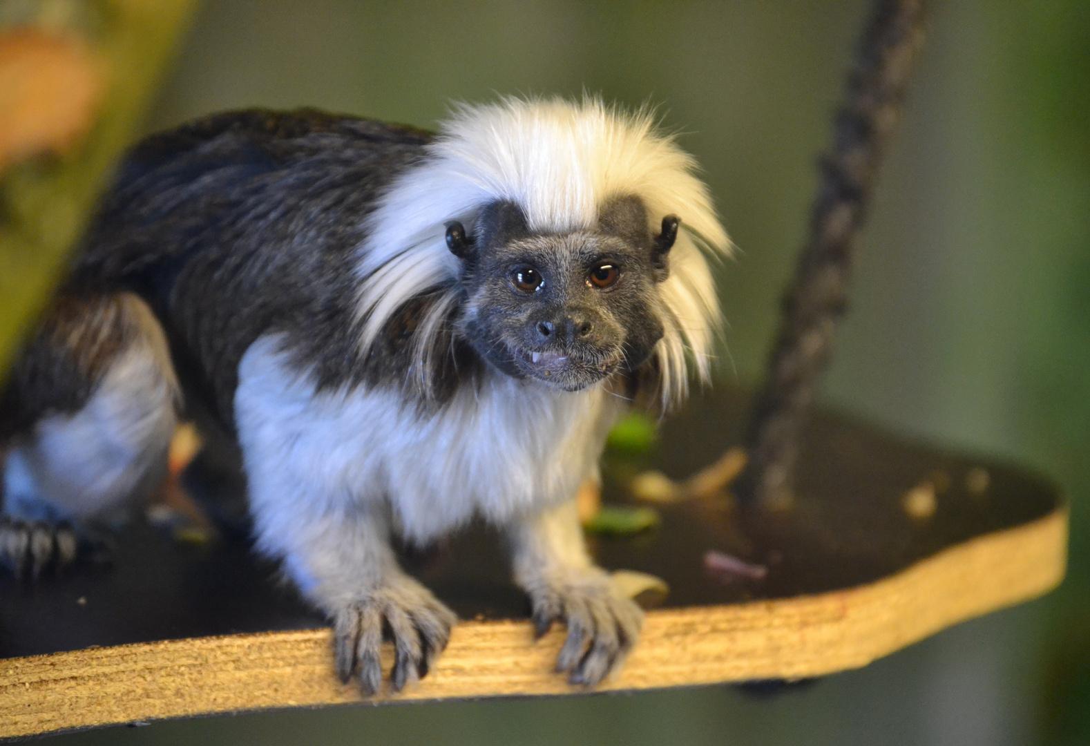 Lisztäffchen im Zoo in der Wingst
