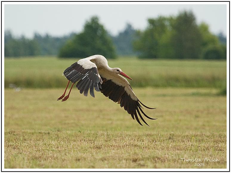 Litauischer Storch im Anflug