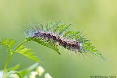 Lithosia quadra - larva