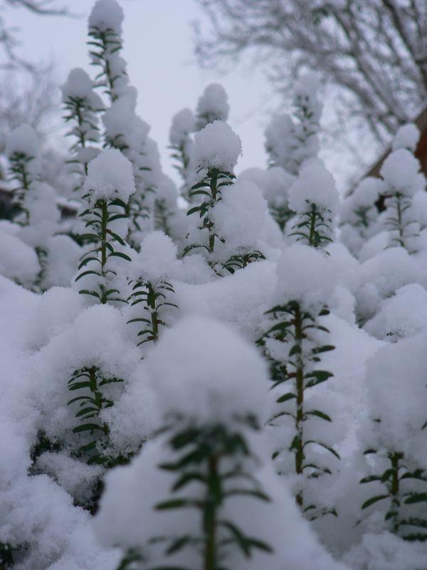 litle christmas trees :)