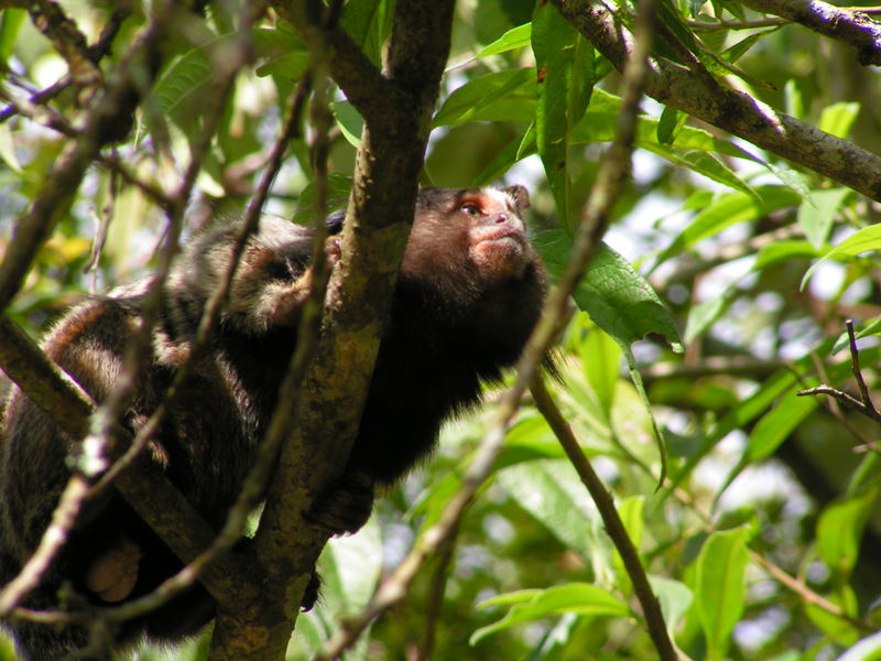 Litlle monkey in Atlantic Forest