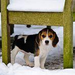Little Beagle