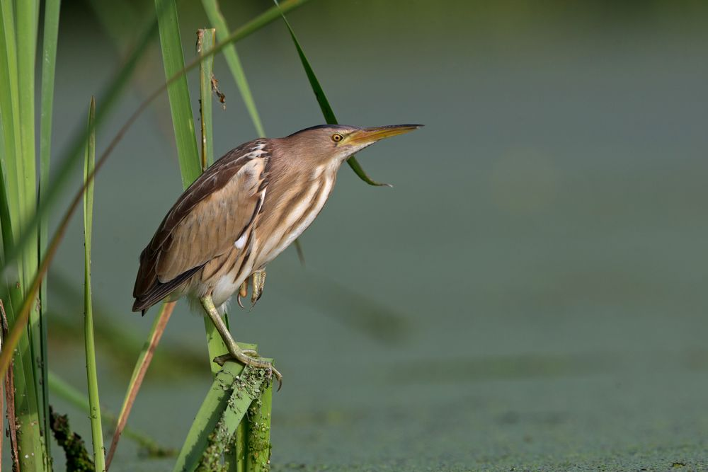 Little bittern 2