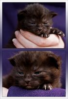 little black baby panther