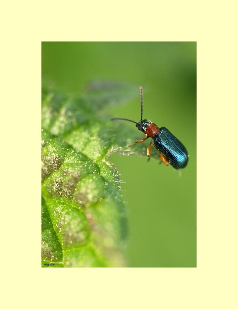 Little blue Beetle