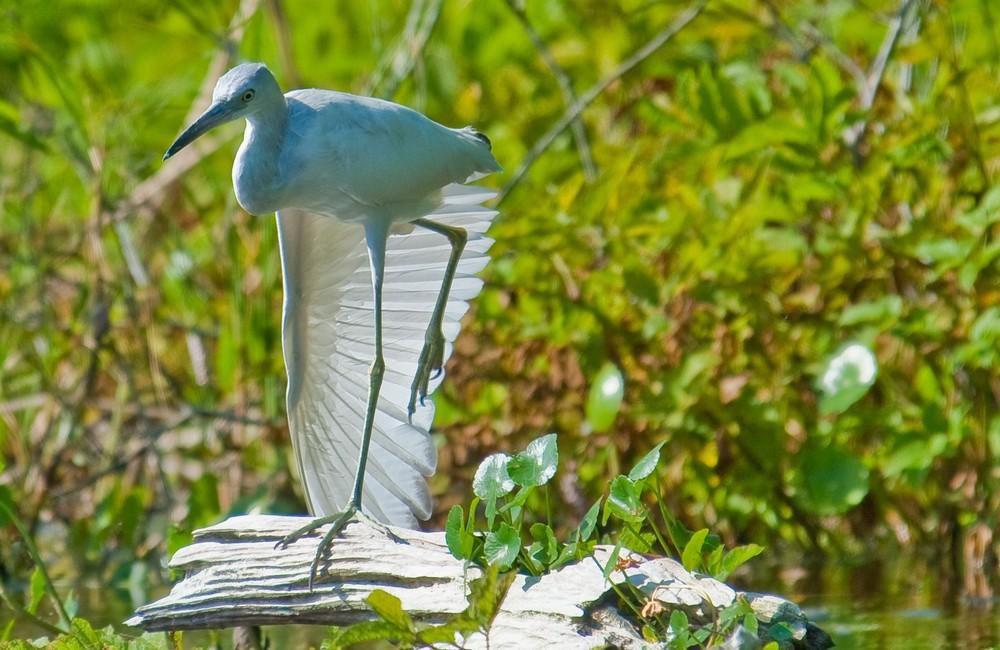 Little Blue Heron (Egretta caerulea)