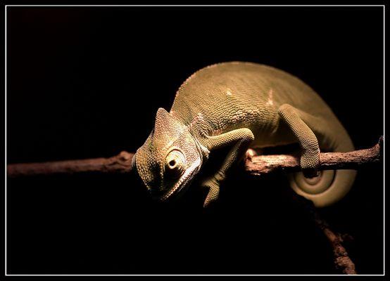 little chameleon - Zoo, Köln