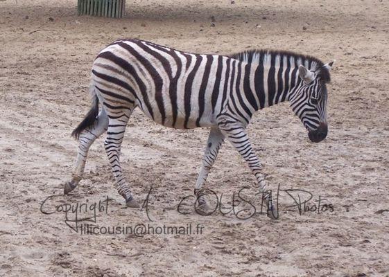 Little Chapman Zebra .