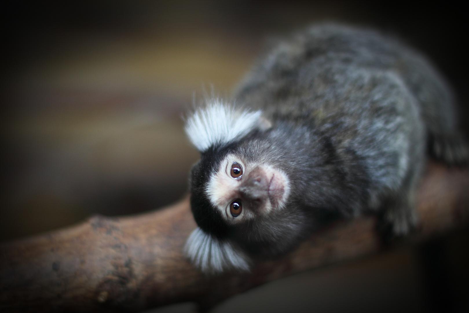 Little cheeky monkey