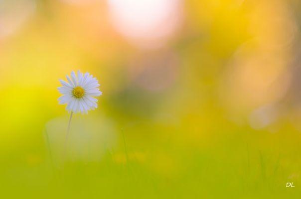 *** Little Daisy ... ***