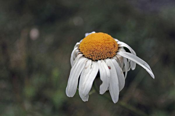 Little daisy