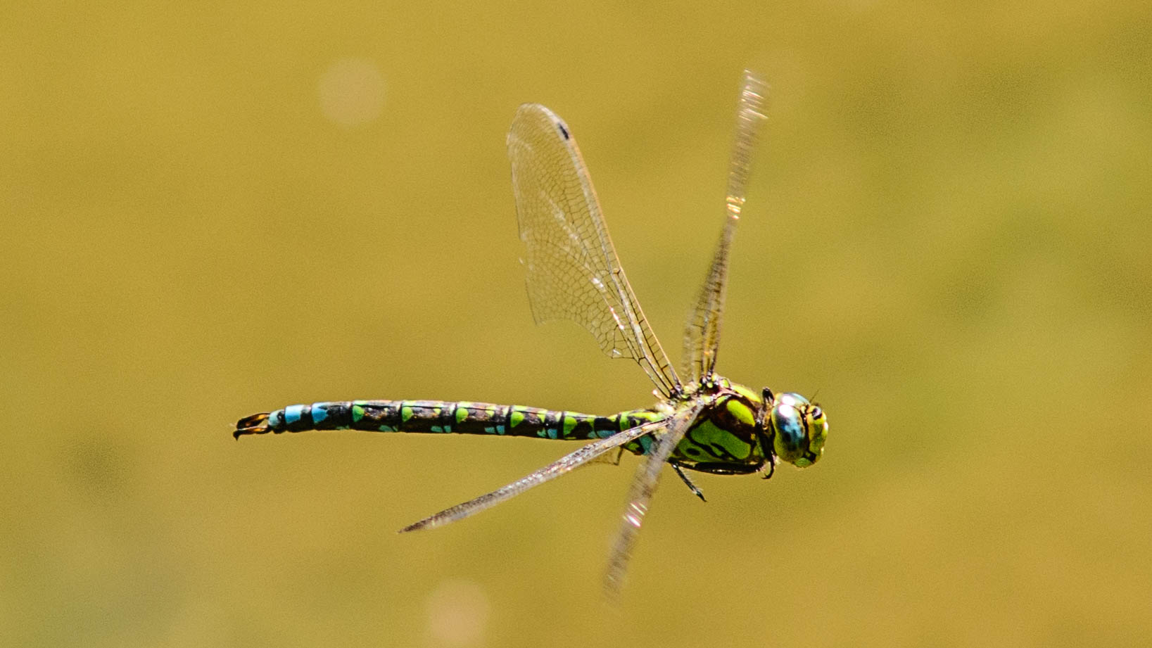 Little Dragonfly cruising