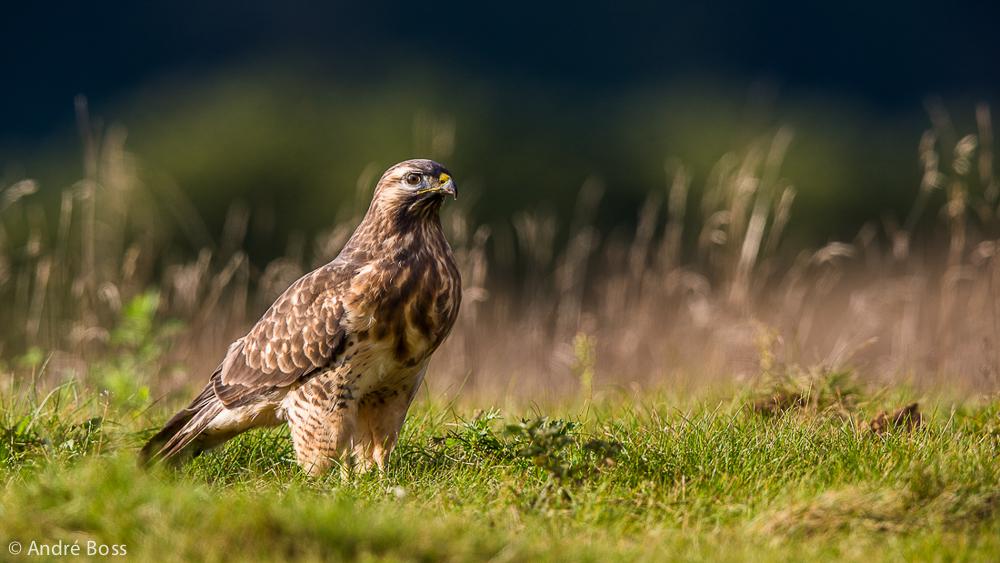 Little Eagle Portrait