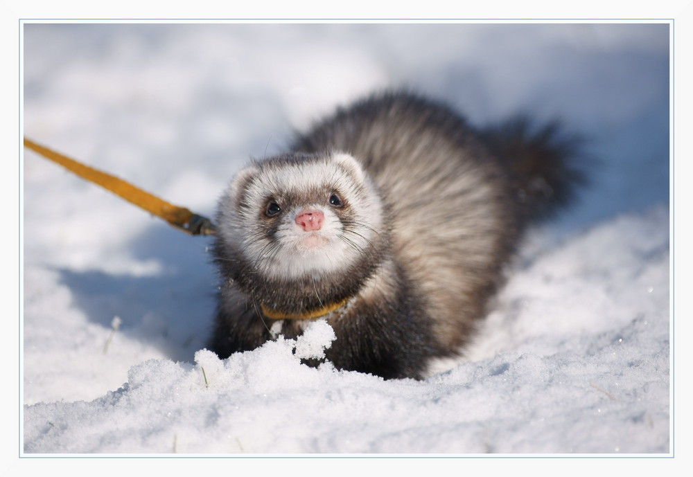 Little Ferret Maja