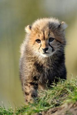 Little Gepard