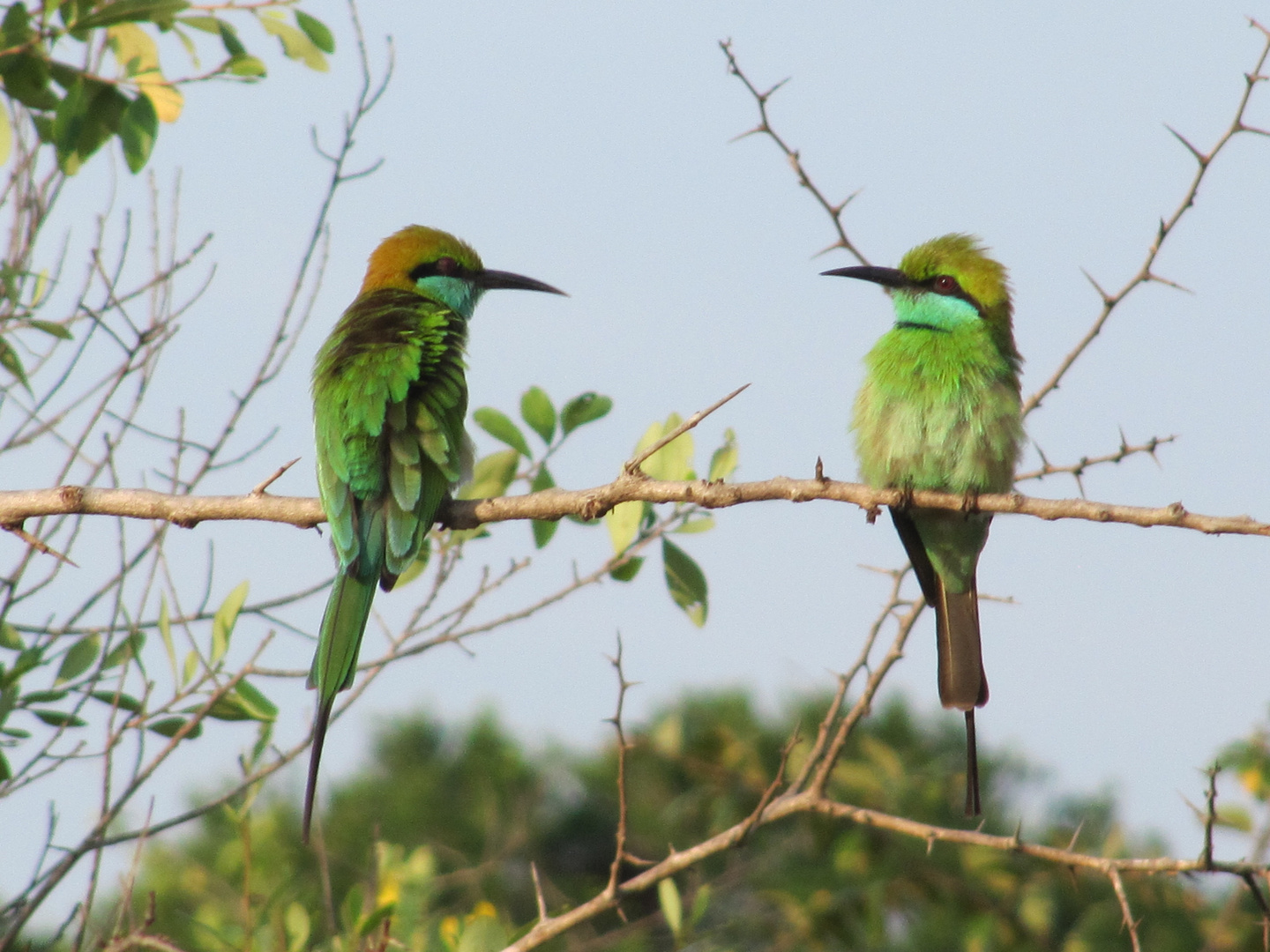 Little Green Bee-Eater auf Sri Lanka