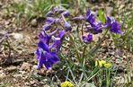 Little Larkspur (Delphinium bicolor) -1