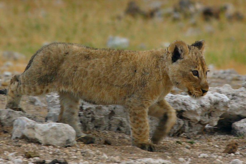 Little Lionking