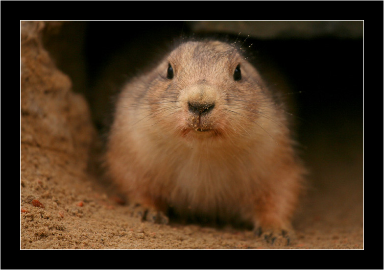Little prairie-dog