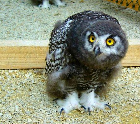 Little Snowy-Owl