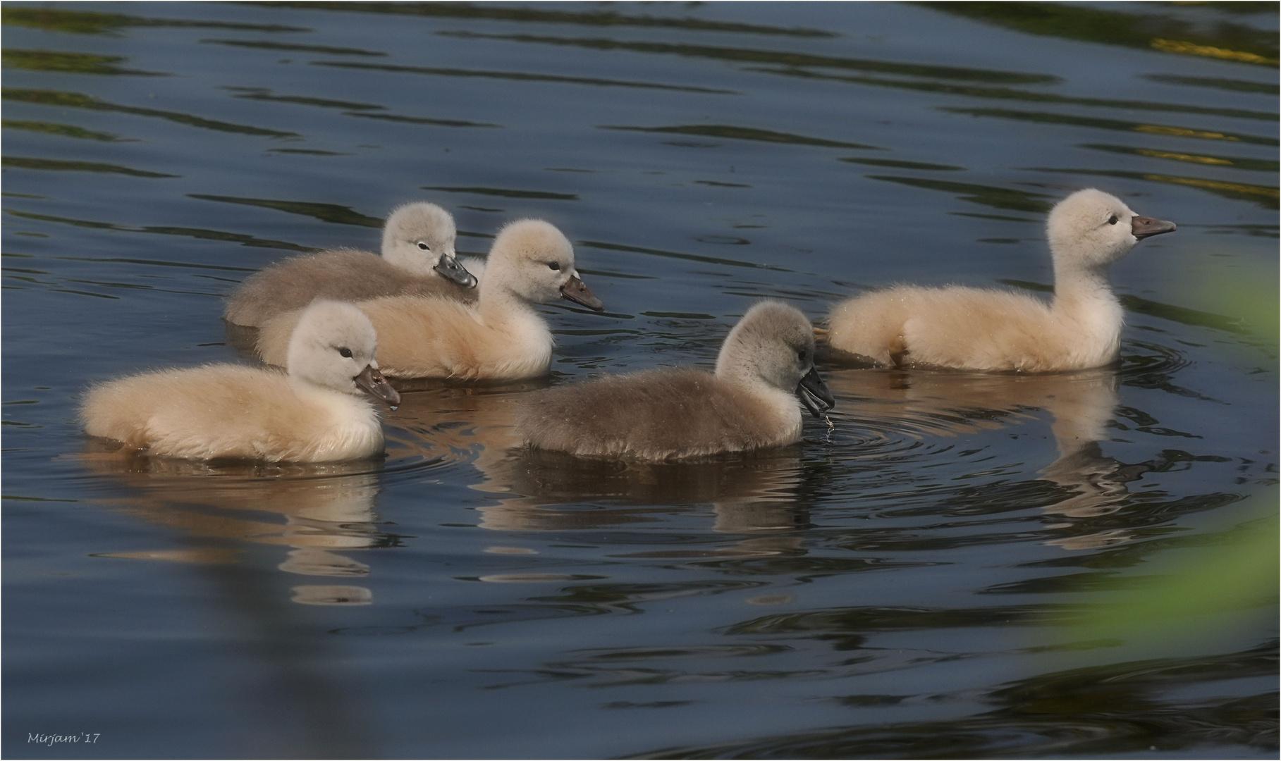 Little swans ..